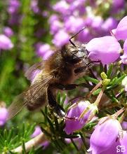 Abeille butinant de la bruyère en fleur, Brandérion, Bretagne, 22 juillet 2012 Morbihan SandrinePhotos