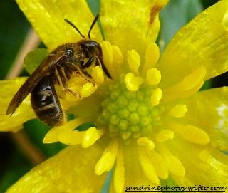 abeille solitaire sur une renoncule ficaire PF