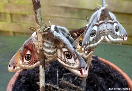 Accouplement de petits paons de nuit -Bouresse, Saturnia pavonia -Moths coupling-Poitou-Charentes-14 avril 2013 (31)