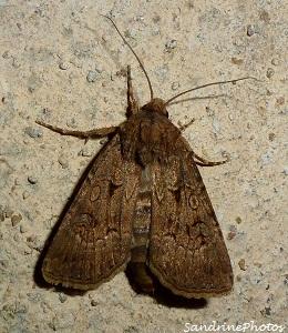 Agrotis crassa femelle, La noctuelle trapue, Papillon de nuit, Great dart agrotis crassa female, Moths and butterflies, Bouresse, Poitou-Charentes 14 aot 2012