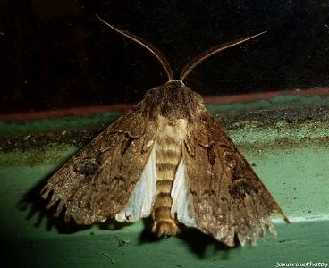 Agrotis crassa mâle-Papillon de nuit, Great dart agrotis crassa male, Moths and butterflies, Bouresse, Poitou-Charentes, 20 aot 2012