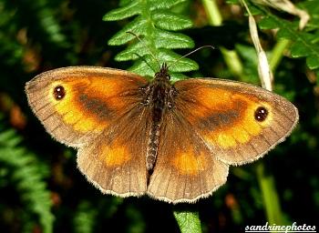 Amaryllis, Pyronia Thitonus, Papillon de jour, Butterfly, Bretagne, Brittany 2012 Morbihan