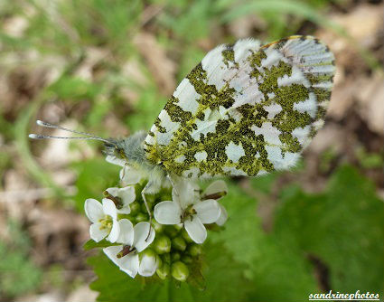 Anthocaris Cardamines l`Aurore Pieridae papillon sur pied d`alliaire alliara petiolata
