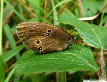 Aphantopus hyperantus Le Tristan Papillon de jour papillon à l`aile froissée Kerangueven Finistère
