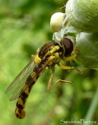 Araignée blanche Misumena Vatia ayant capturé une proie plus grosse qu`elle Arachnides Bouresse Poitou-Charentes 86 (6)