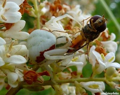 Araignée blanche Misumena Vatia ayant capturé une proie plus grosse qu`elle Arachnides Bouresse Poitou-Charentes 86 (7)