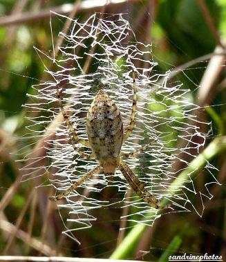 Araignée sur sa toile en zig zag Bouresse Poitou-Charentes