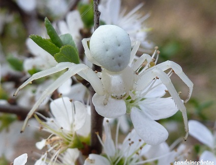 araignée blanche Misumena Vatia femelle arachnides