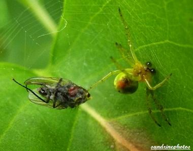 araignée courge araniella cucurbitina avec macule rouge sous l`abdomen Mâle ayant capturé une mouche dans sa toile