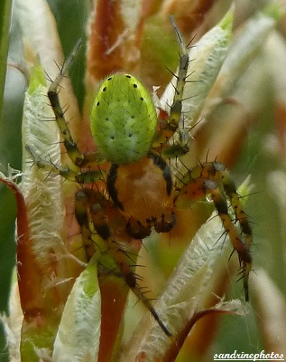 araniella opisthographa araniella opisthographa Mâle Araneidae Bouresse Poitou-Charentes PF