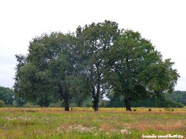 Arbres majestueux dominant la plaine de Villemblée, Wonderful trees dominating the country-side of Bouresse Poitou-Charentes