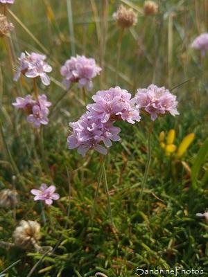 Armérie maritime, Flore, fleurs sauvages, Belle île en mer (26)