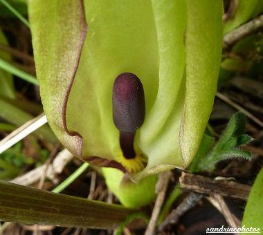 arum sauvage détail fleur