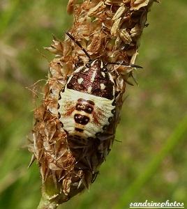 Bébé punaise Insectes Bouresse Poitou Charentes (7)
