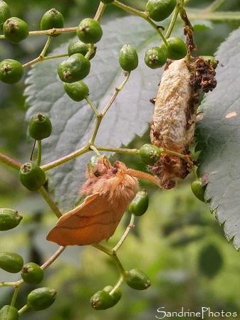 Bombyx à livrée, Malacosoma neustria, Lasiocampidae, Emergence du papillon de nuit, cocon blanc sur Sureau, La Planchette, Queaux (30)