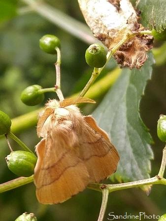 Bombyx à livrée, Malacosoma neustria, Lasiocampidae, Emergence du papillon de nuit, cocon blanc sur Sureau, La Planchette, Queaux