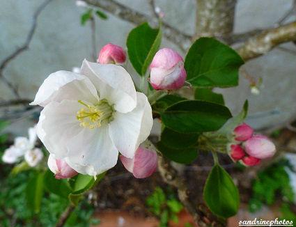 bourgeons et fleur de pommier arbres fruitiers