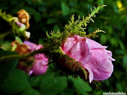Bouton de rosier mousseux Roses anciennes Fleurs de nos jardins Bouresse Poitou-Charentes