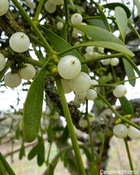 Branche de gui, Mistletoe, parasitic plant on old trees, plante parasite poussant sur de vieux arbres Jardin, Bouresse, Poitou-Charentes (1)