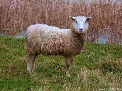 Brebis dans un pré, mouton, sheep in a field, animaux domestiques, animaux de la ferme, animals of the farm, Bouresse, Poitou-Charentes (8)