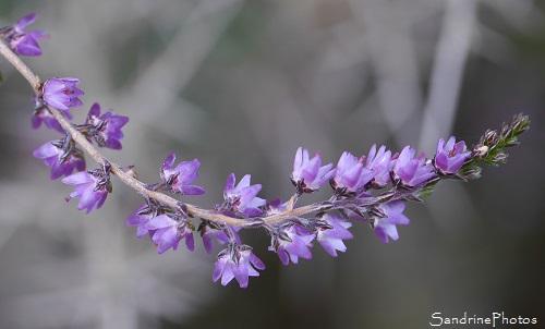 Callune fausse bruyère, Calluna vulgaris, Fleurs sauvages roses, Balade en forêt -Automne 2016-Poitou, Biodiversité en région Nouvelle-Aquitaine, SandrinePhotos Esprit Nature (16)