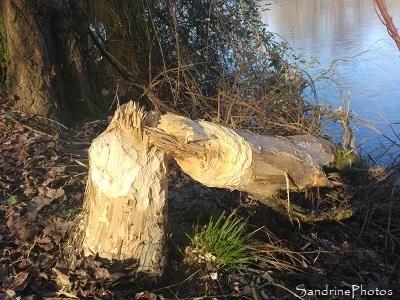 Castor d`Europe, Castor fiber, Tronc d`arbre coupé par un castor, le long de la Vienne, sous Roche, Queaux 86, Sud-Vienne (3)