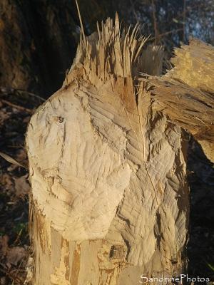 Castor d`Europe, Castor fiber, Tronc d`arbre coupé par un castor, le long de la Vienne, sous Roche, Queaux 86, Sud-Vienne (5)