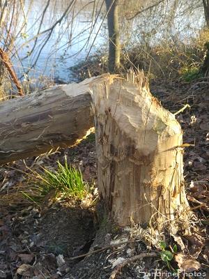 Castor d`Europe, Castor fiber, Tronc d`arbre coupé par un castor, le long de la Vienne, sous Roche, Queaux 86, Sud-Vienne (7)