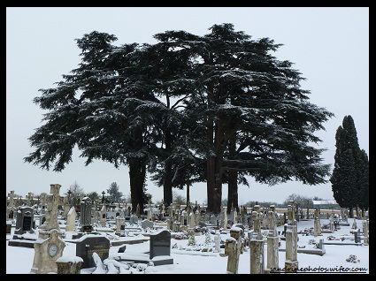 Cèdres de l'Atlas, cimetière de Bouresse