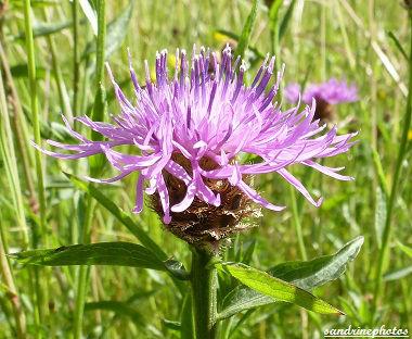 centaurée Fleurs sauvages du Poitou-Charentes Bouresse (3)
