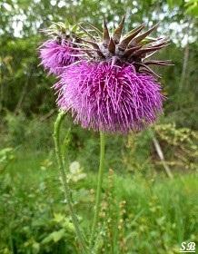 chardon penché carduus nutans, Wild flowers, Thistle, Bouresse Poitou-Charentes