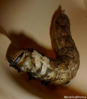 Chenille du Sphinx à tête de mort, Acherontia atropos, Sphingidae, Papillons de nuit, 13 cm, 11 septembre 2013, Verrières, Poitou-Charentes, SandrinePhotos (1)