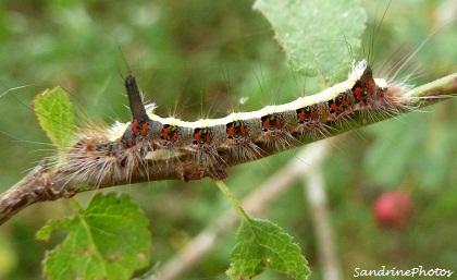 Chenille du papillon de nuit Le Psi-Triaena Psi Noctuidae The grey dagger moth caterpillar Bouresse Poitou-Charentes(4) (1)