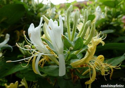 Chèvrefeuille Lonicera Caprifolium Fleurs de nos jardins Bouresse Poitou-Charentes