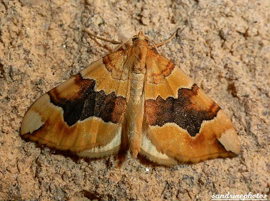 Cidaria Fulvata La cidarie fauve Chenilles et papillons de nuit Bouresse Poitou-Charentes (2)