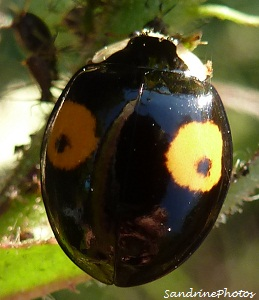 Coccinelle asiatique Harmonia axyridis Multicoloured Asian ladybird, black with a little black spot within a large orange spot-Bouresse, Poitou-Charentes, France SandrinePhotos