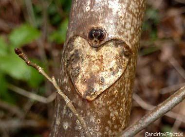 Coeur gravé dans le bois de marronnier, arbres, histoires de coeur sandrinephotos Esprit Nature, a heart engraved in a chestnut tree bark, Bouresse, Poitou-Charentes