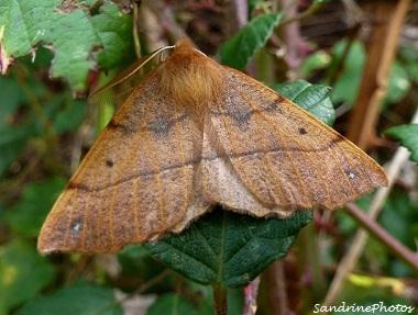 Colotois pennaria, l`himère-plume, Papillon de nuit, Moth, Bouresse, Poitou-Charentes (1)