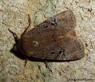 Conistra rubiginosa, L`Orrhodie grise, papillon de nuit, Moths and butterflies, Bouresse, Poitou-Charentes