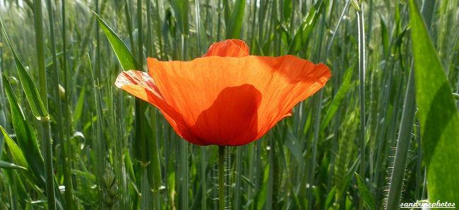 Coquelicot dans un champ de blé autour de la Dive Bouresse Poitou-Charentes