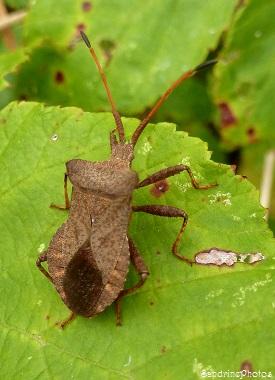 Coreus marginatus, Punaise marron, Coréidés, Hémiptères, Insectes, Bouresse, Poitou-Charentes, Septembre 2013 (6)