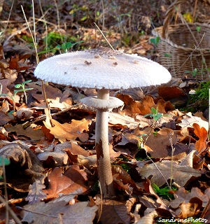 coulemelle, Macrolepiota procera, champignons, mushrooms, Bouresse, Poitou-Charentes, 28 nov 2011 (31)