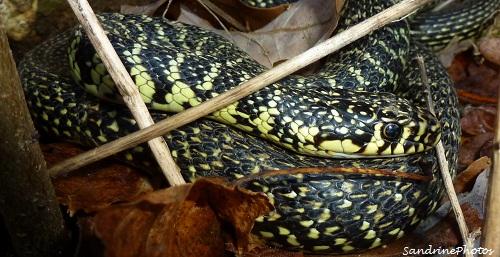 couleuvre verte et jaune, Hierophis viridiflavus, Serpents du Poitou-Charentes, Snakes, Reptiles, Bouresse -Vienne (2)
