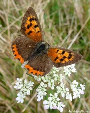 Cuivré commun, Lycaena phlaeas, Papillons de jour, Moths and butterflies, Bouresse, Poitou-Charentes Octobre 2013 (70)