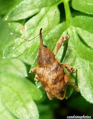 curculio nucum balanin des noisettes insectes Bouresse Poitou-Charentes
