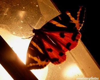 écaille chinée, Euplagia quadripunctaria, Papillon de nuit aux ailes rouges , Moth with red wings, Frenche butterfly, Bouresse Poitou-Charentes France