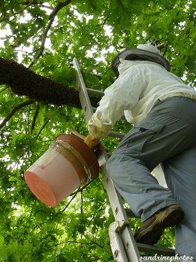 Essaimage du vendredi 11 mai 2012 avec M.Philippe Giraud apiculteur à Bouresse-Poitou-Charentes (61)