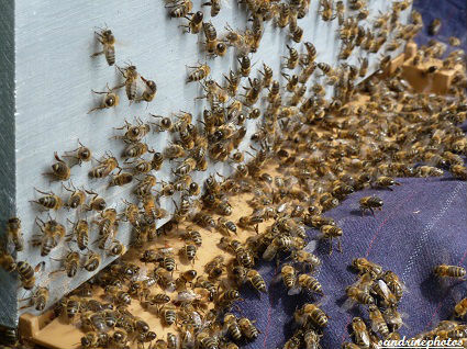 Essaimage du vendredi 11 mai 2012 avec M.Philippe Giraud apiculteur à Bouresse-Poitou-Charentes (68)