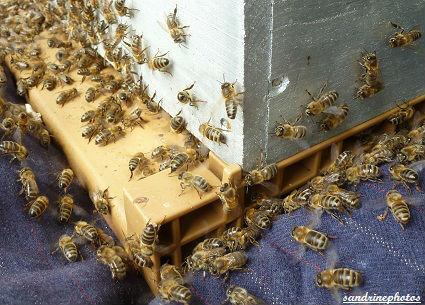 Essaimage du vendredi 11 mai 2012 avec M.Philippe Giraud apiculteur à Bouresse-Poitou-Charentes Abeilles(44)