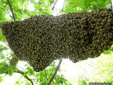 Essaimage du vendredi 11 mai 2012 avec M.Philippe Giraud apiculteur à Bouresse-Poitou-Charentes Essaim d`abeilles sur une branche de chêne(17)
